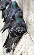 Sistema di allontanamento volatili (piccioni)