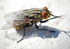 Disinfestazione mosche e mosconi