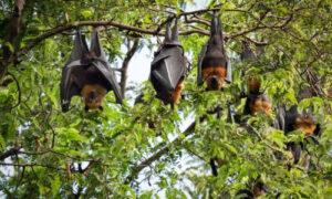 Guano di pipistrello Abbiategrasso